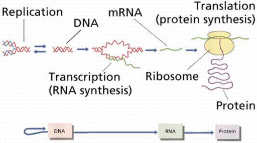explain the relationship between dna rna and proteins